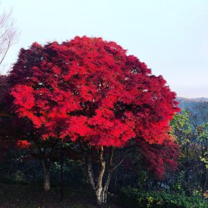 舞鶴市五老ヶ岳公園の紅葉